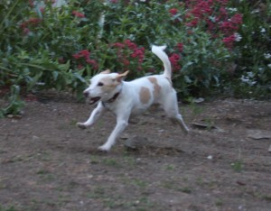 Like the last dog, this is a small, floppy eared dog on the move. But look at the difference in body language! Tail: High, ready to engage. Spine: I can't say it's relaxed, but there is up and down movement: his butt is slightly higher than his shoulders, even on the run. Up and down movement indicates playfulness. Facial expression: while his ears are back, like the other dog, they're back and relaxed, not pinched. No whites of the eyes showing. His mouth is open (maybe barking?) but no back molars are present. Overall? Tail indicates readiness to engage, spine indicates good emotional state, face is relaxed and happy. This dog is ready to play!